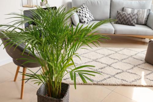 Areca Palm - Interflower