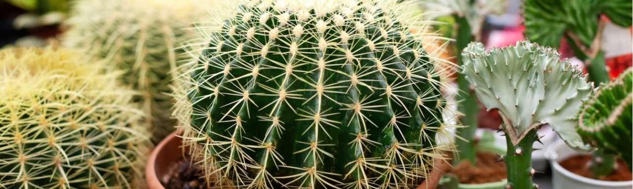 Cactus - Interflower