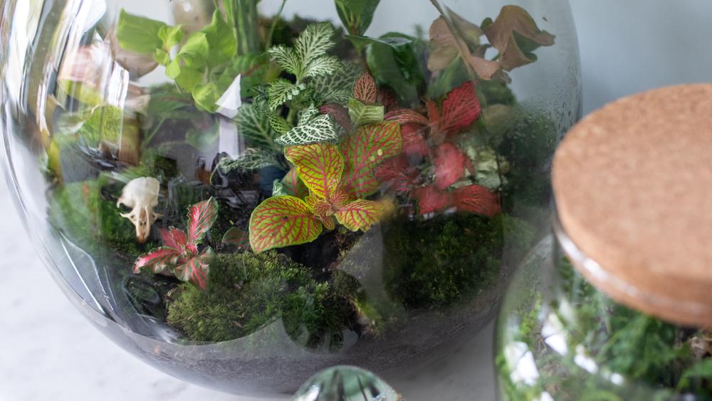 Fittonia terrarium - Interflower