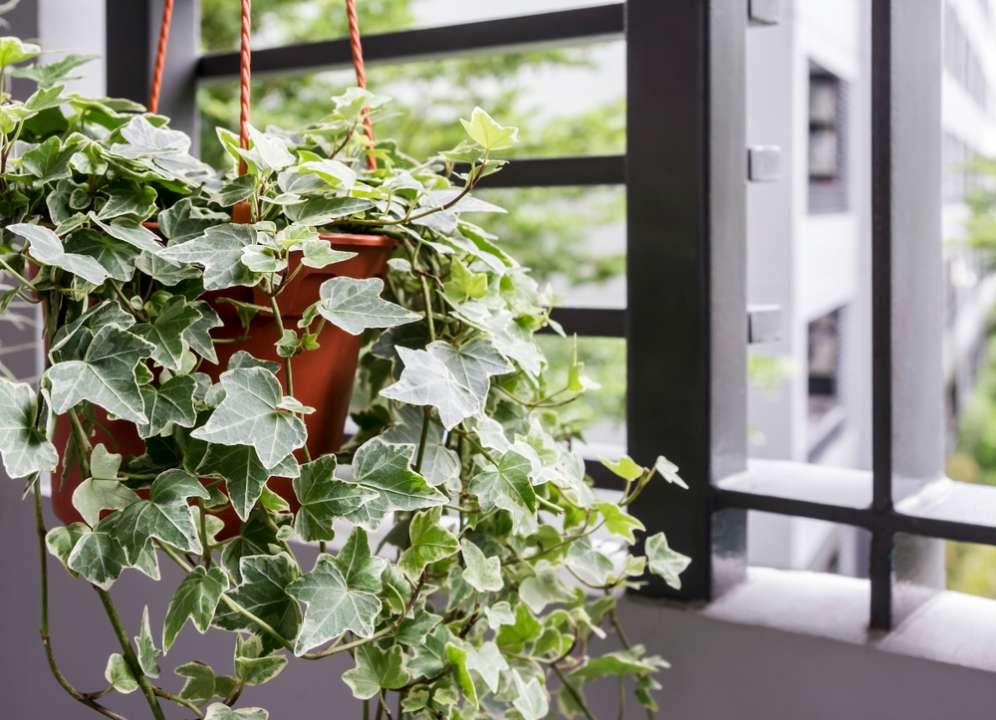 Hedera hangplant buiten - Interflower