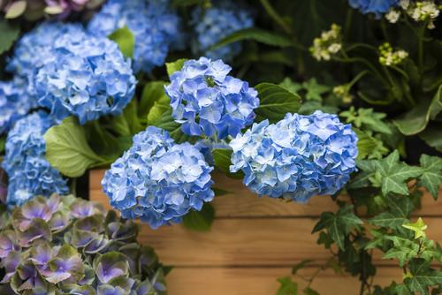 Hortensia tuinplant - Interflower