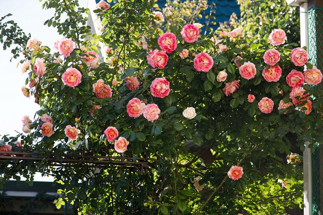 Klimplant roos - Interflower