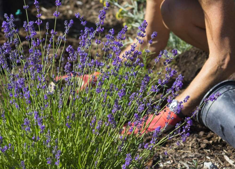Lavendel in de tuin - Interflower