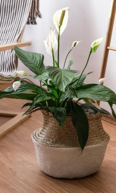 Luchtzuiverende kamerplanten - Interflower