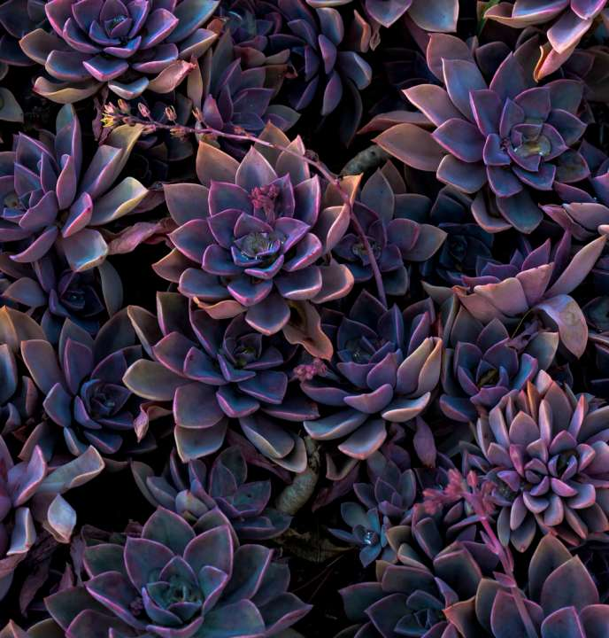 Succulent vetplant - Interflower