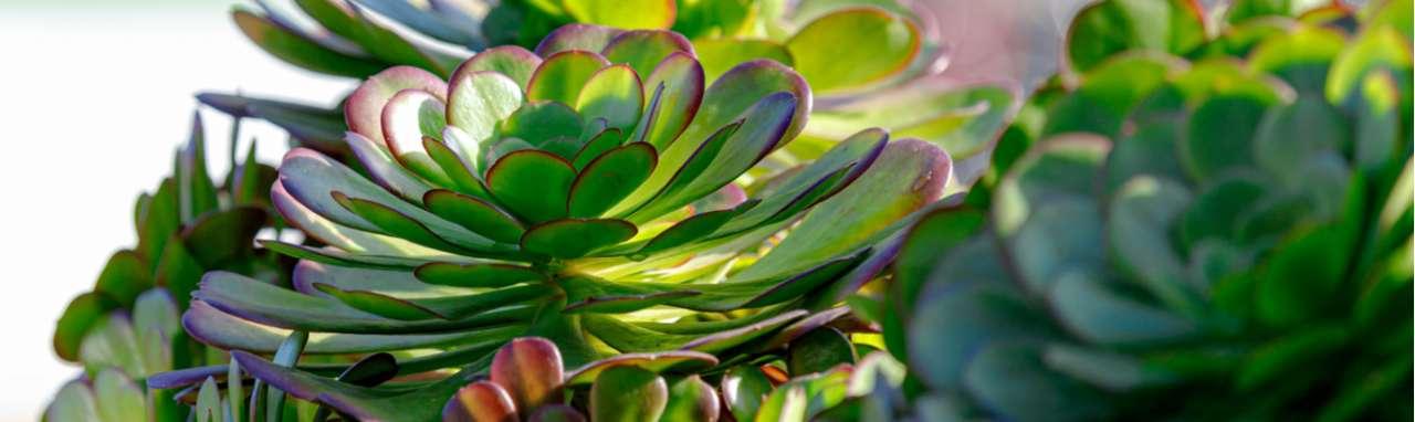 Vetplanten - Interflower