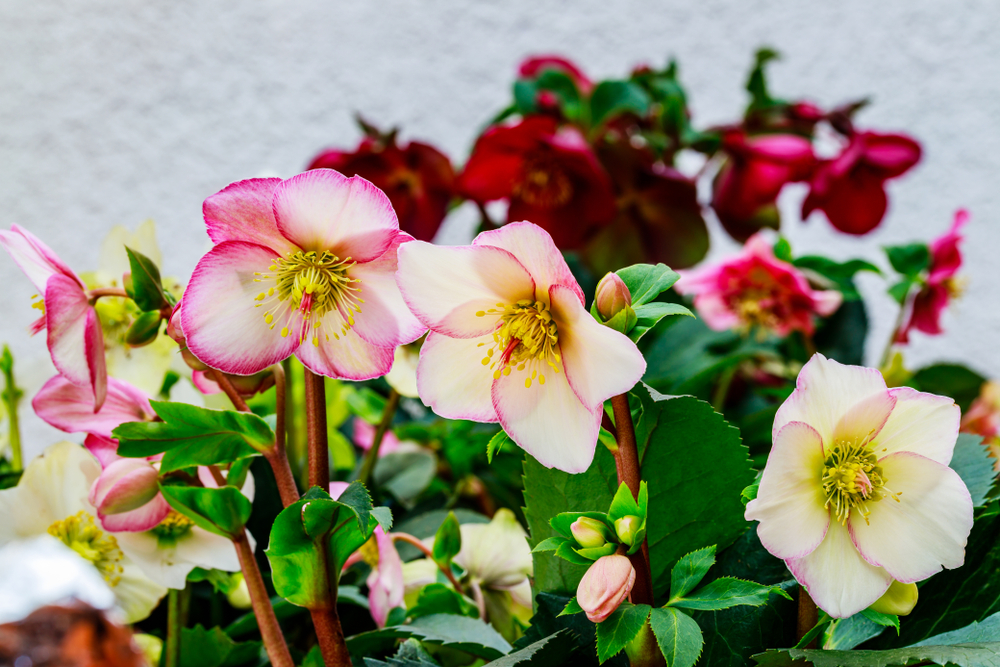 Lentebloeiers-kerstroos-interflower